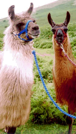 2 llamas posing for the camera
