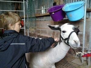 A boy grooms a llama in a barn